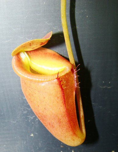 Nepenthes flava - a very rare new highland species