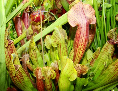 Sarracenia minor x rubra