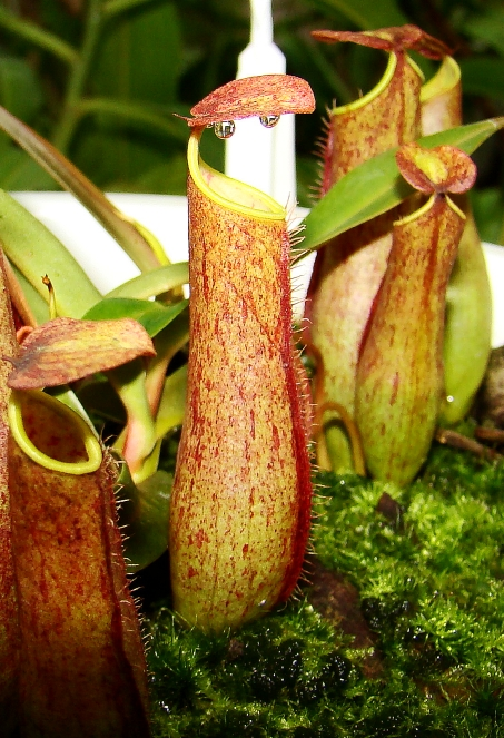 Nepenthes gracilis var. nigropurpurea from Borneo