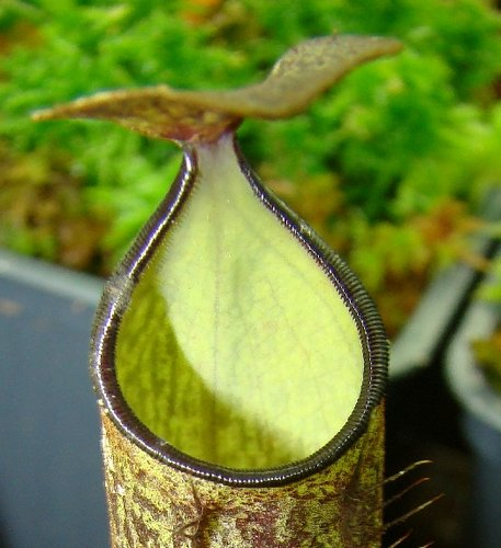 Nepenthes adnata mouth