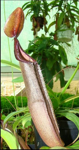 Nepenthes sanguinea trap